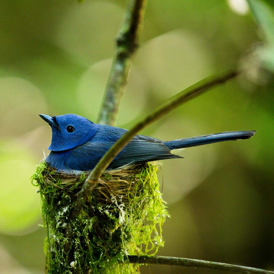 A Blue Bird In the Nest