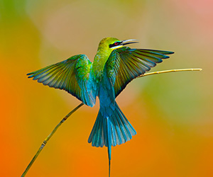 Blue Tailed Bee Eater