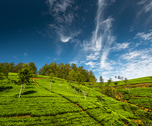 Landscape View in Nuwara Eliya
