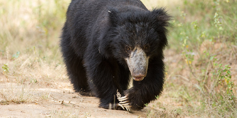 Sloth Bear Walking in the Jungle
