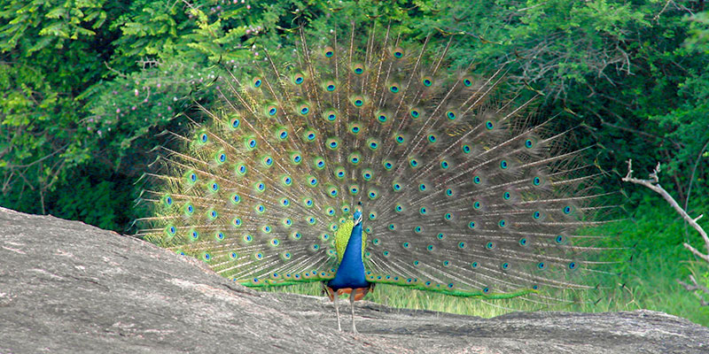 A Peacock in the Jungle