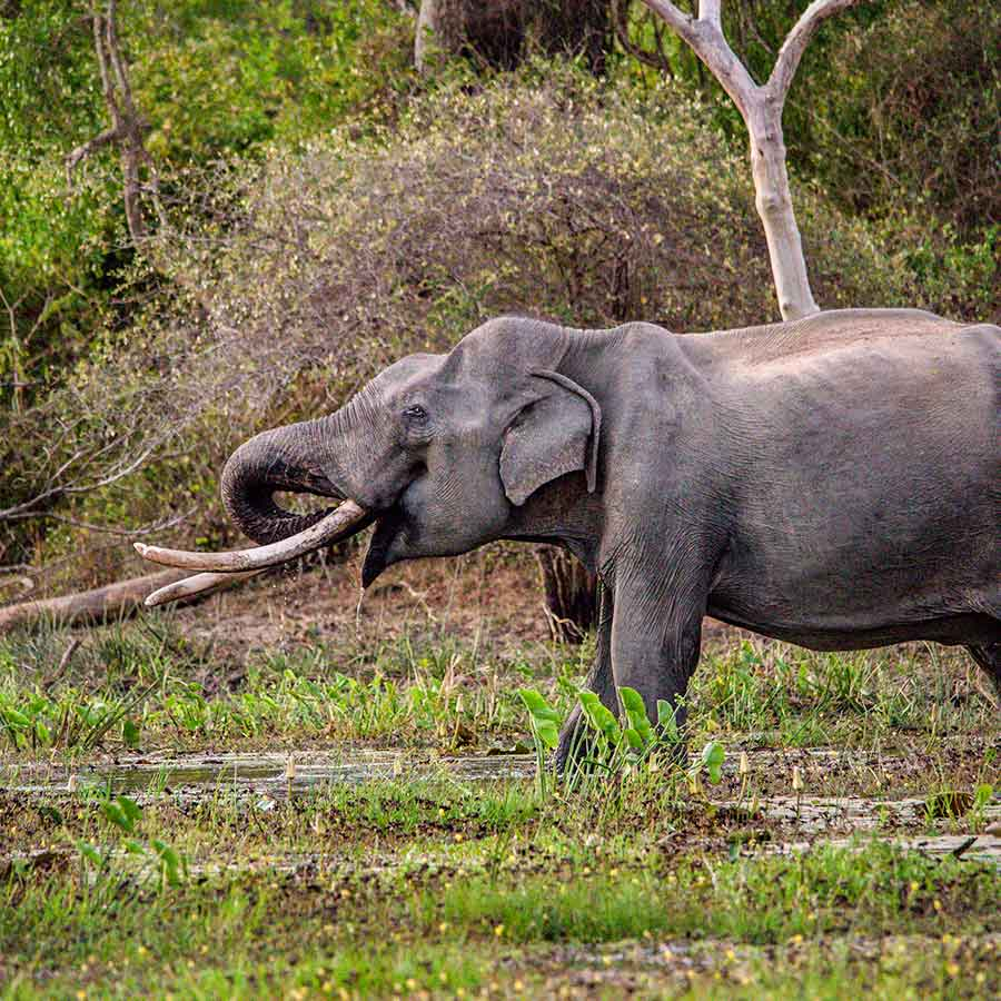 Tusker Elephant in the Jungle